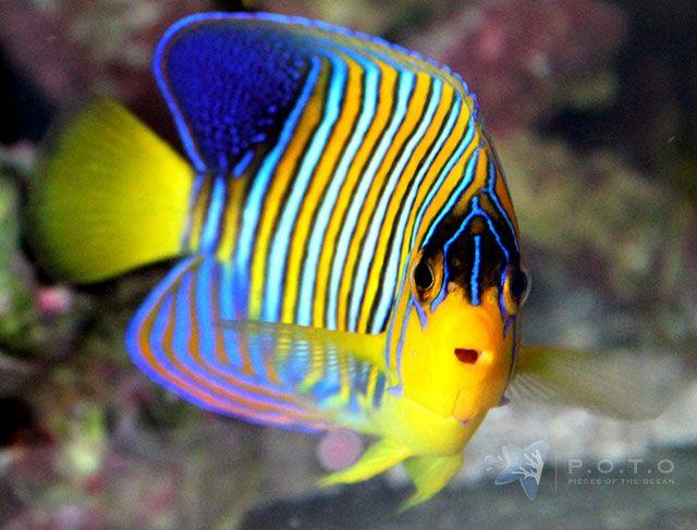 Red Sea Regal Angelfish Weird Fish Ocean Life Sea Animals