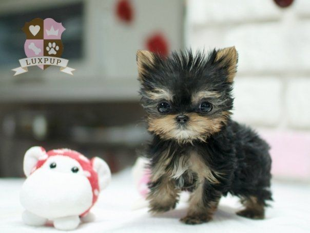 Teacup Size Yorkie Cute Animals Animals Baby Animals