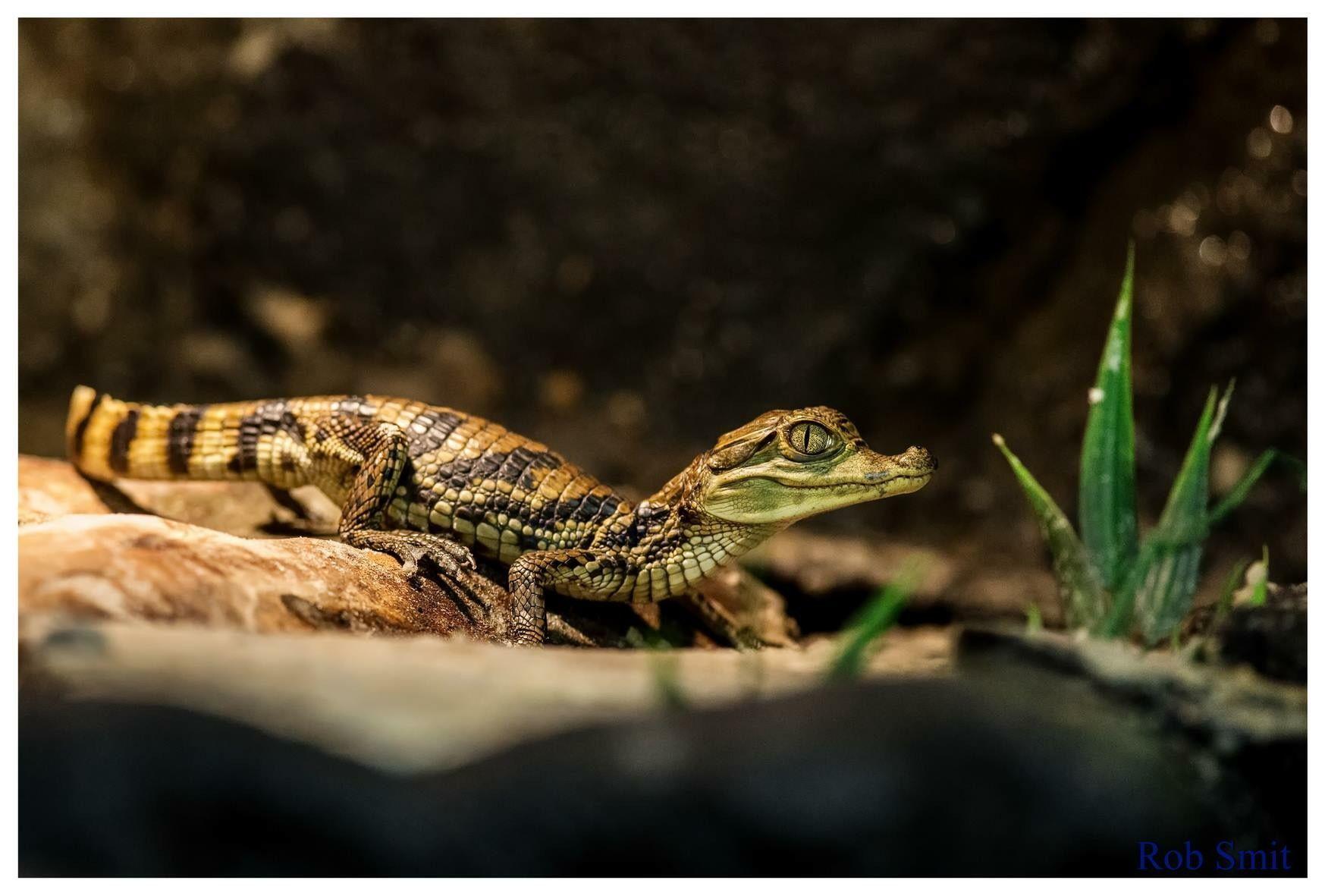 cfddefc8c870 Caiman crocodillus 22cm 60 gram 4 weeks old  www.facebook.com freezefotografie