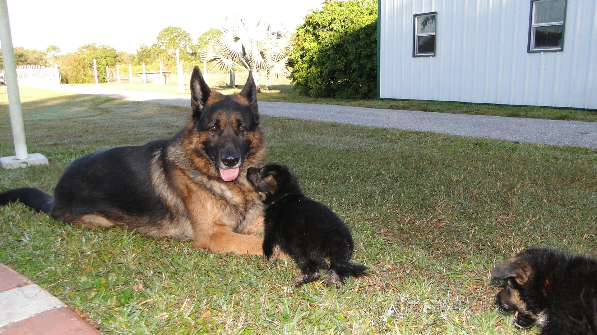 The German Shepherd Is A Breed Of Classic Beauty With Great