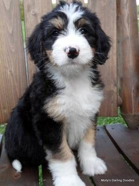 F1 Bernedoodle Puppies Bernese Mountain Dog Poodle Cross For
