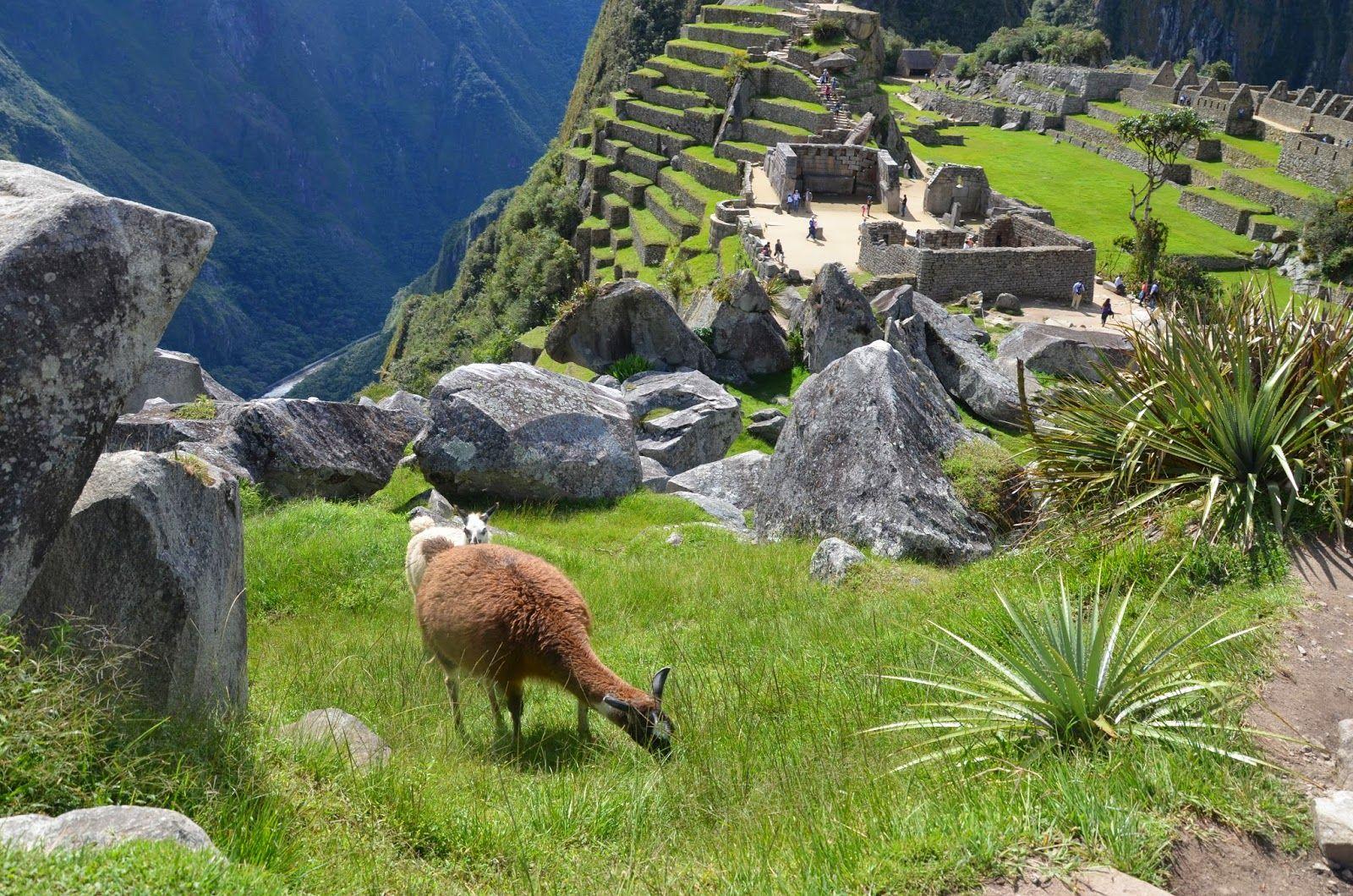 lamas_machu_picchu :#peru #travel #machupicchu