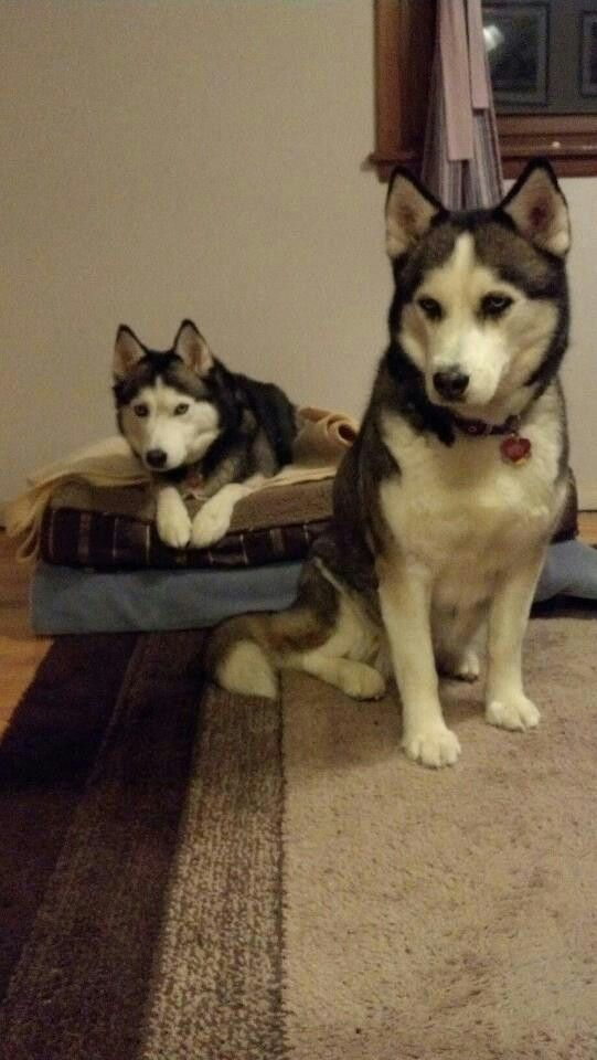 Former Very Shy Puppy Mill Dogs Babe And Balto Dogs Siberian Husky