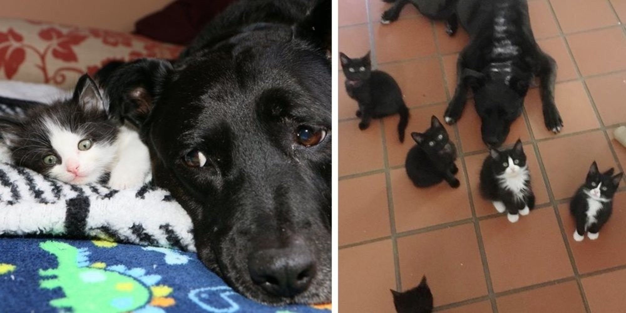 Dog Becomes Foster Mom To Nearly 100 Kittens After She Lost Her Best Feline Friend Foster Mom Friends In Love Kittens
