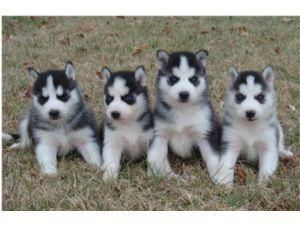 Images Of Blue Eyes Siberian Husky Puppies For Sale Pets Uk Pet