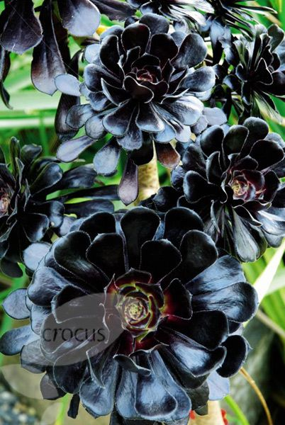 Wonderful Flowers For The Northwest Garden | Northwest Flower U0026 Garden Show: Black  Plants In Vogue Nice Design