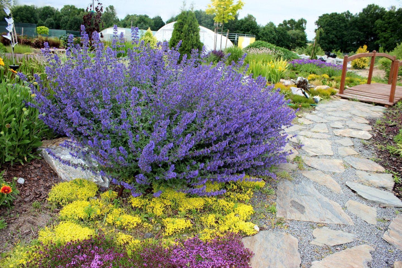60 40 Kocimietka Walker S Low Albamar Plants Flower Garden Garden
