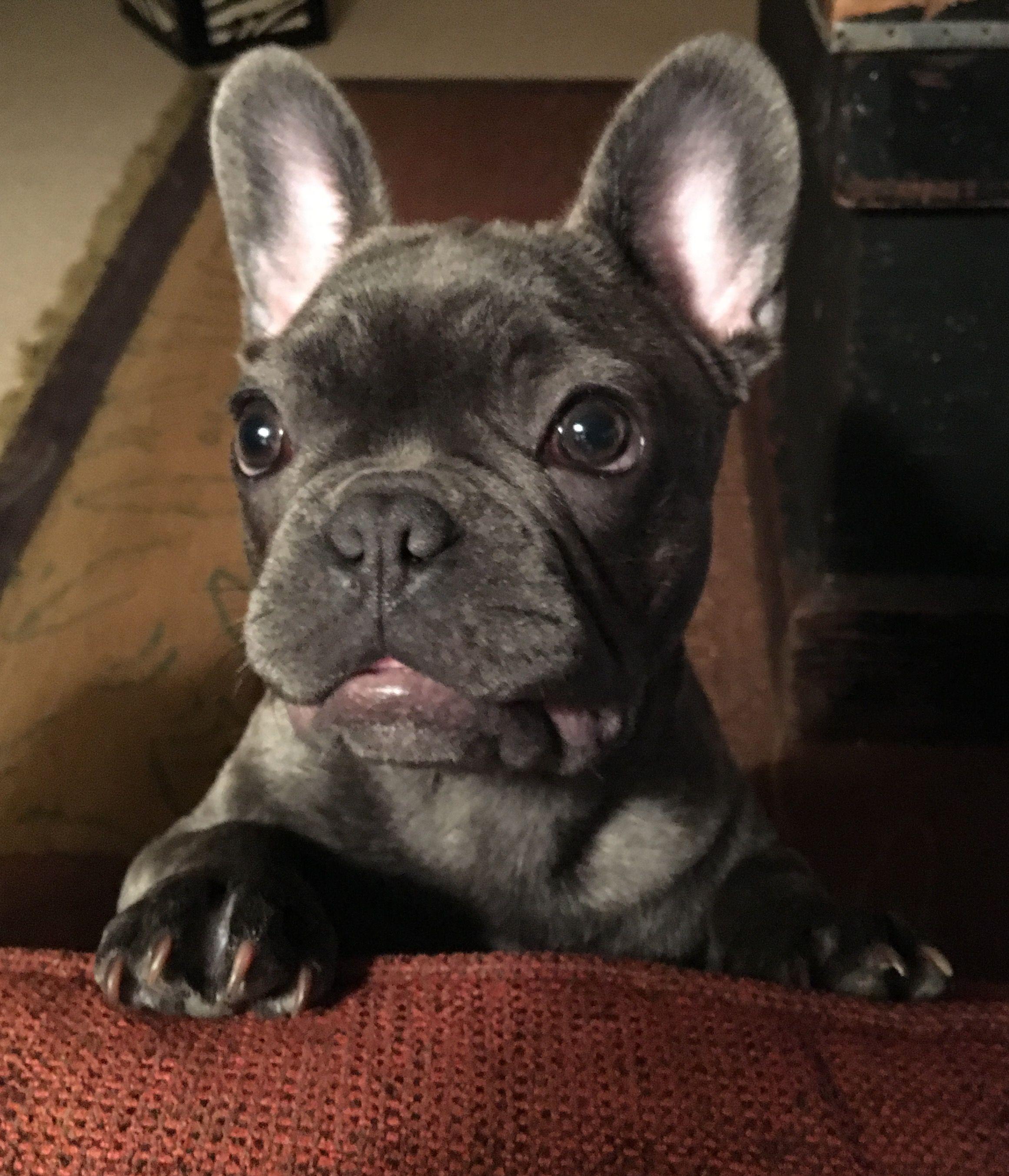 Blue Brindle French Bulldog Cute French Bulldog Brindle French Bulldog French Bulldog