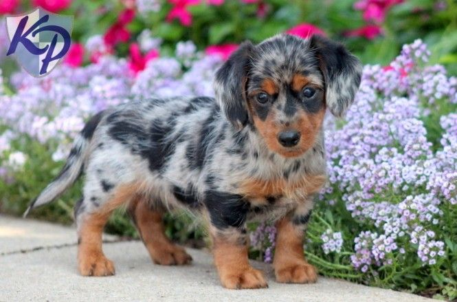 Puppy Finder Find Buy A Dog Today By Using Our Petfinder Puppies Weenie Dogs Beautiful Dogs