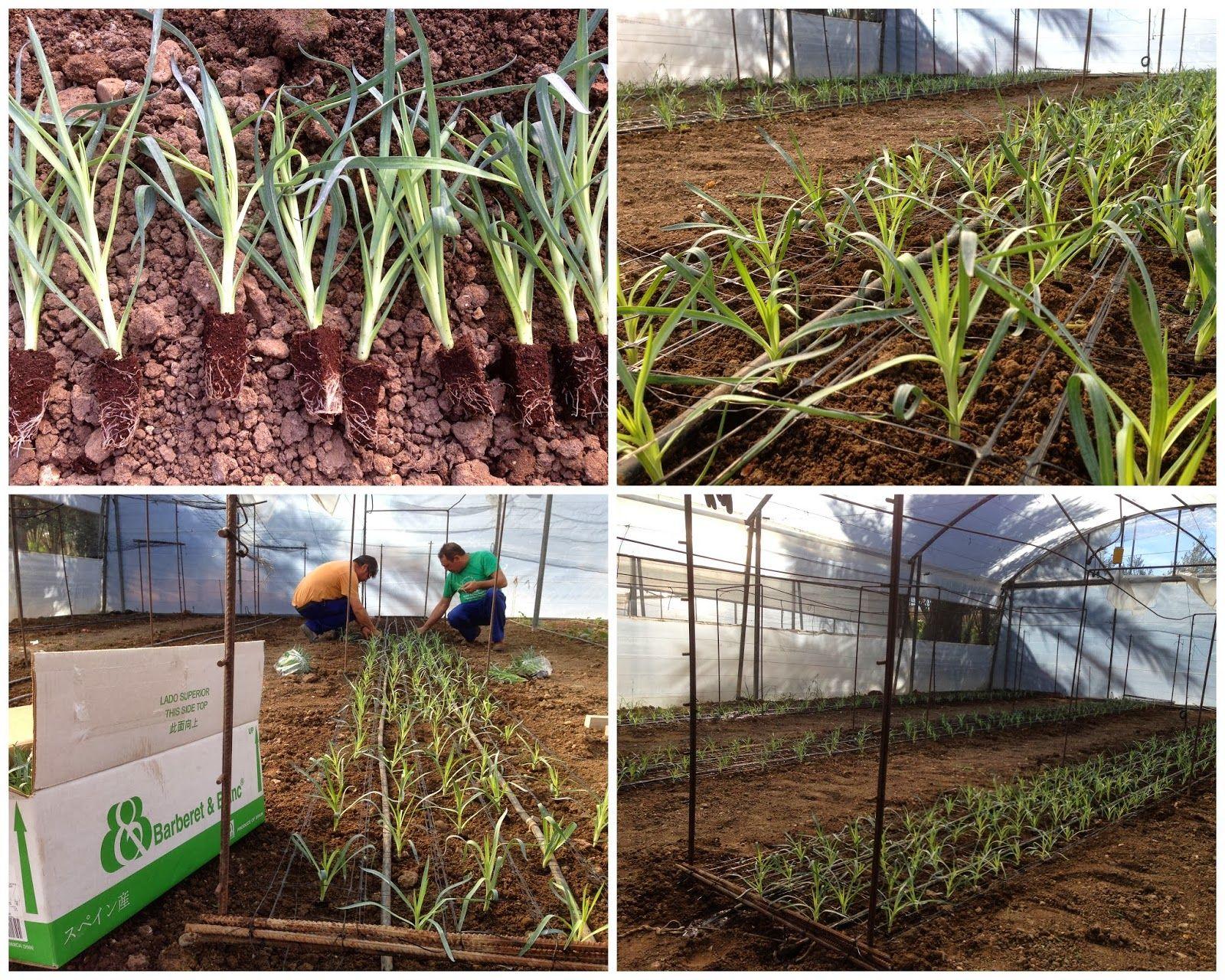 Trasplante de claveles en horticultura y cultivos for Plantas ornamentales clavel