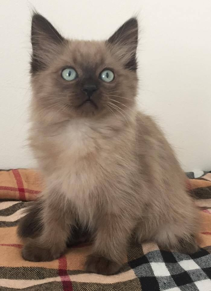Our Soon To Be Kitten Mioche She Is A Seal Mink Ragdoll Kittens Ragdoll Kitten Kittens Cutest