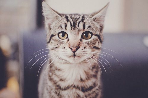 I'm in love! A tabby! <3