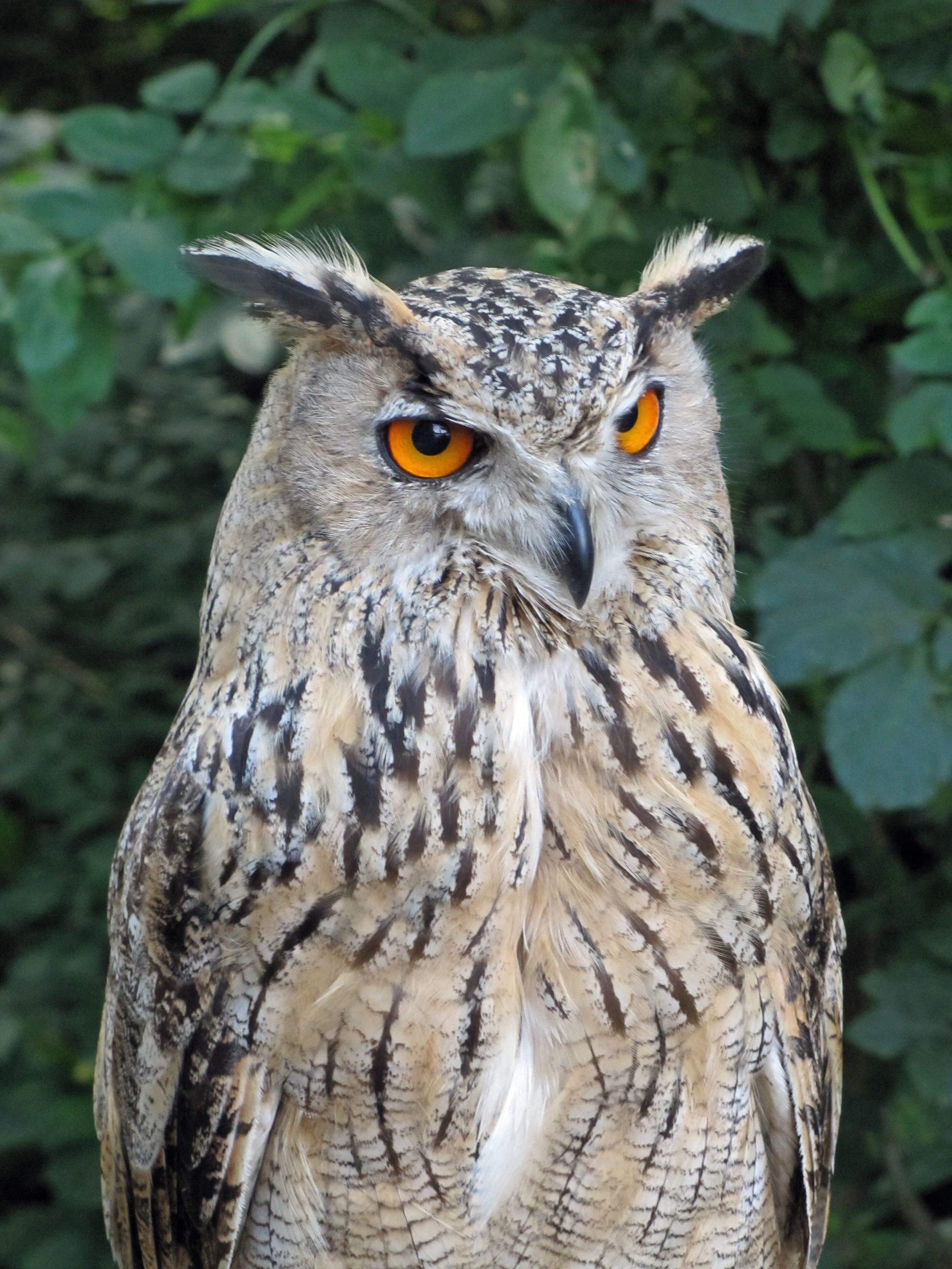 Everything You Wanted to Know About the Eurasian Eagle Owl