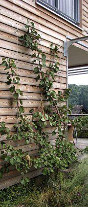Aprikosenbaum An Einem Seilsystem Holzfassade Garden Und House
