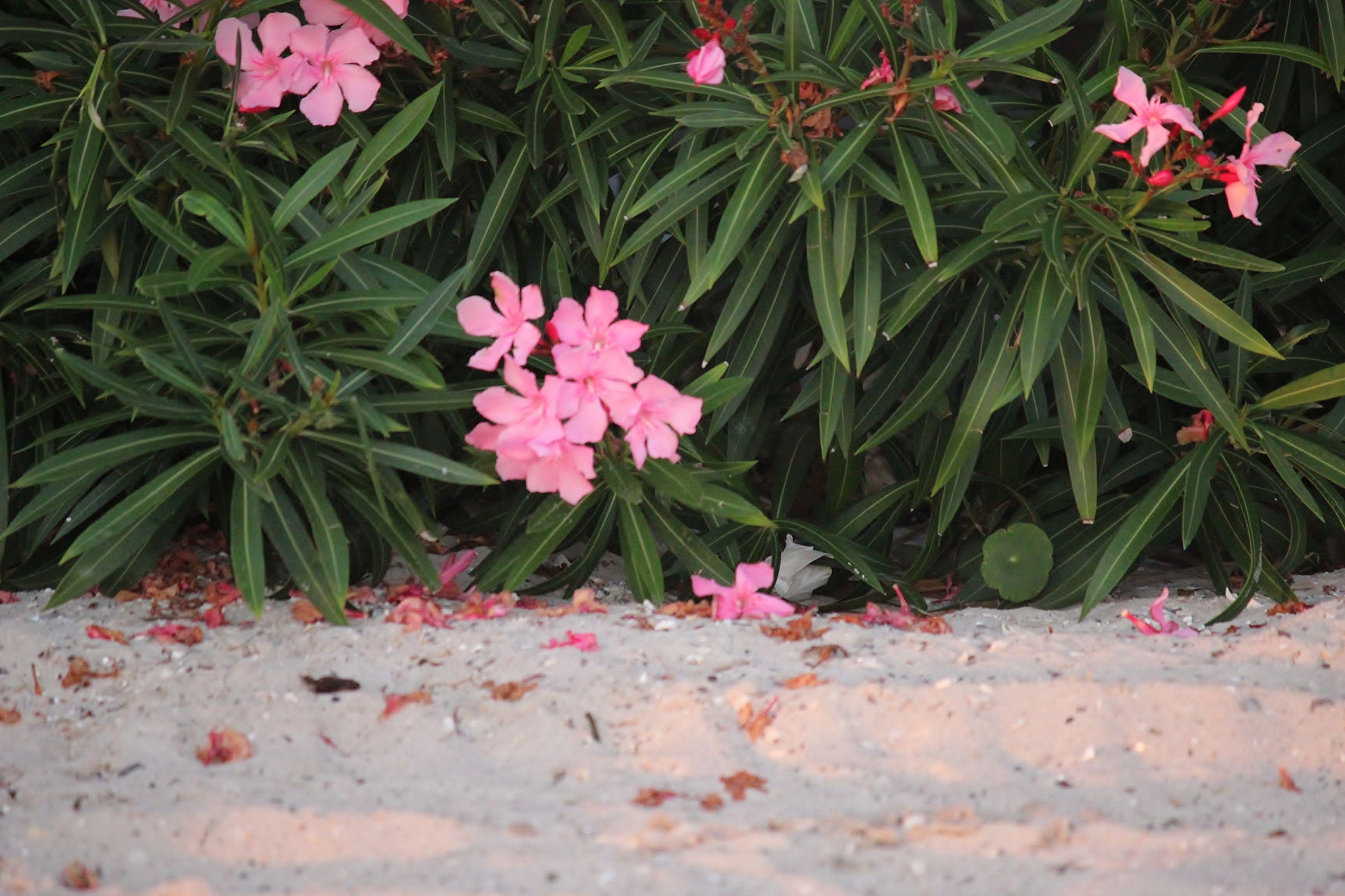 Beach Flowers Navarre Perdido Key Pensacola Beaches