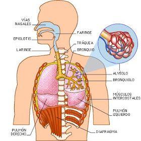 Dibujo Del Imagenes Del Aparato Respiratorio Sistemas Del Cuerpo Humano Aparato Respiratorio