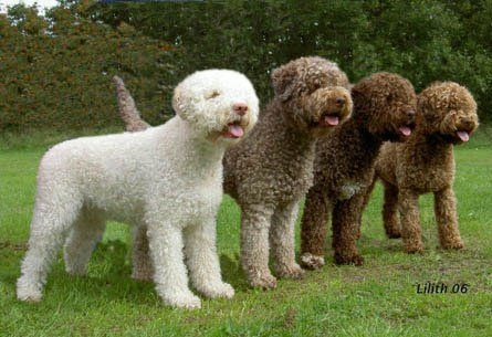 Four Cute Lagotto Romagnolo Dogs Lagotto Romagnolo Water Dog Breeds Cute Dogs