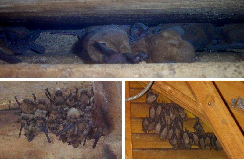 The only way which have identified about the bat feces that is bat feces removes in Carmel by Thoroughspect. Because bats are create the actual problems for your health.