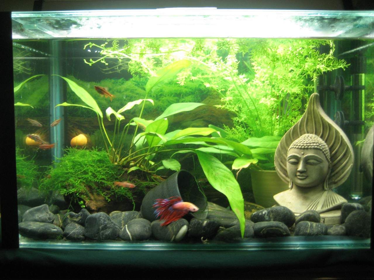 Fish for asian aquarium - So I Love The Whole Zen Look And I Have White Gravel And A Little Zen Hut In My Tank At The Moment I Have Just Started The Decorating Process And
