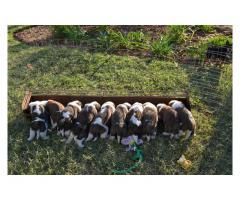 St Bernard Puppies For Sale Kusa Registered Puppies For Sale