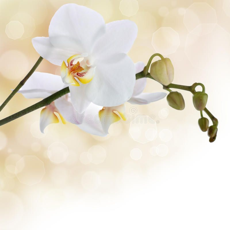 White Orchid On Pastel Colored Background With Bokeh Sponsored Pastel Orchid White Bokeh Background Ad White Orchids Orchid Flower Orchids