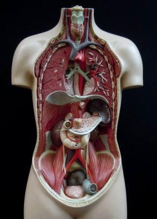 Vintage medical torso plaster model   viscera   Pinterest