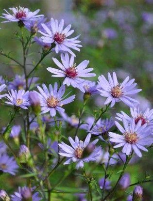 Aster Little Carlow 정원 가꾸기 아름다운 꽃 자연