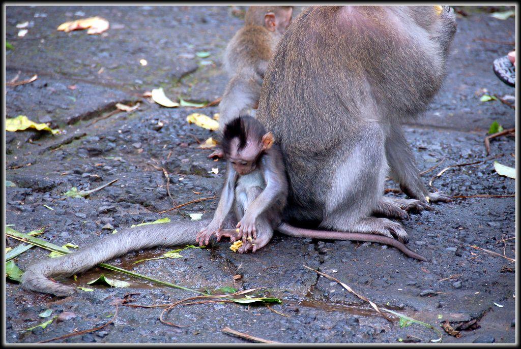Baby monkey @ Monkey forest - bali