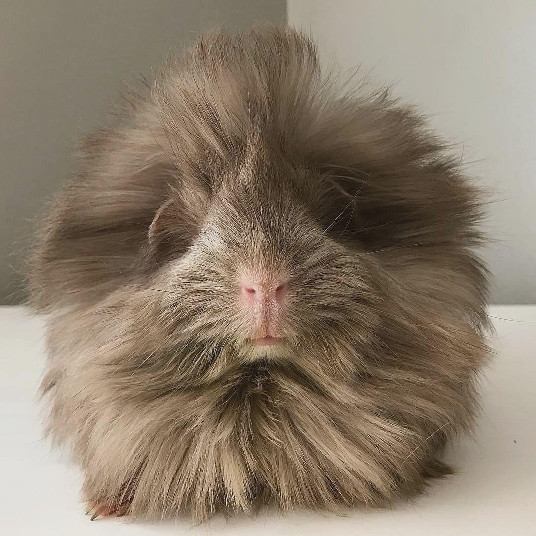 such a fluffy guinea pig | Cady's Pins | Cute guinea pigs ...
