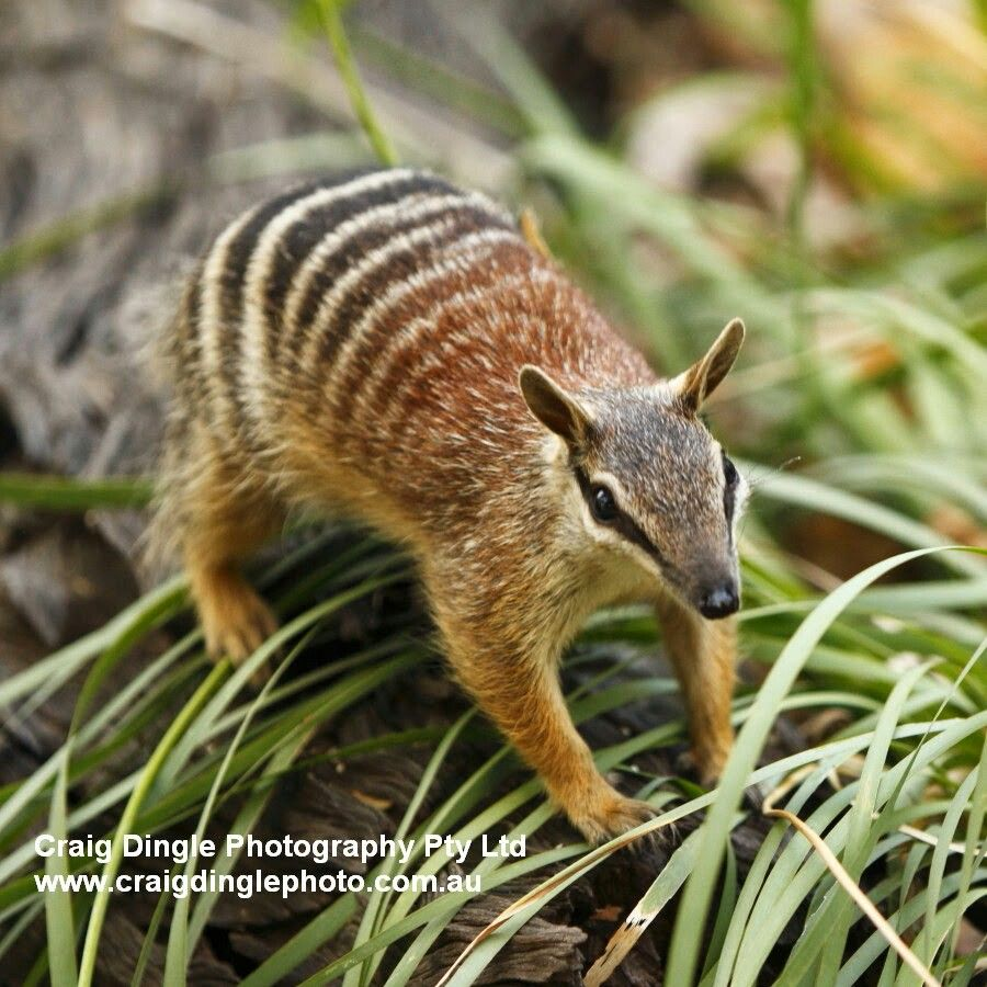 Numbats are an endangered species found in Australia