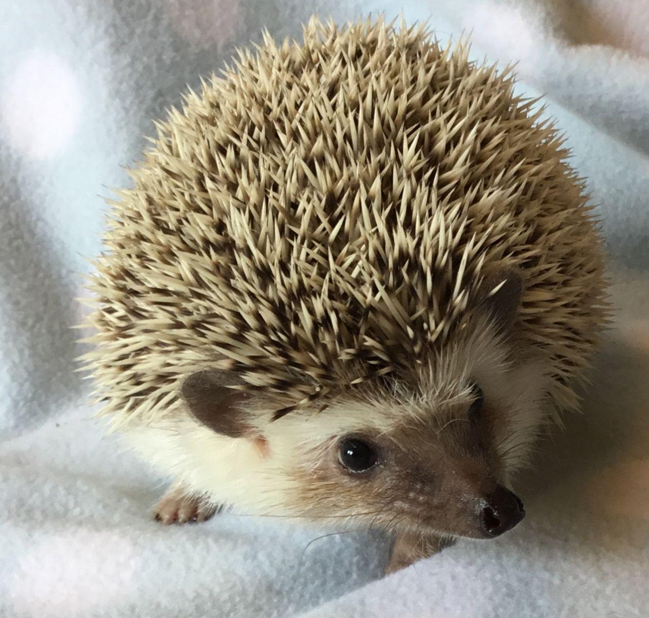 Breeding hedgehogs cute hedgehog pet pigs baby hedgehog