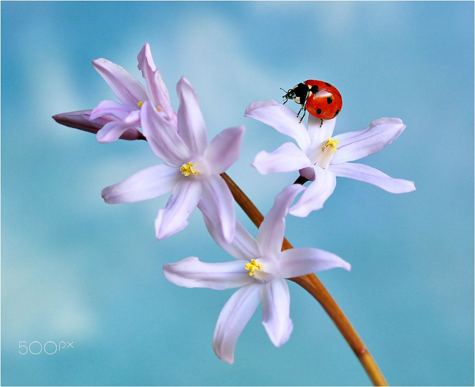 Lady. - Ladybird on Chionodoxa flower. Thanks for looking.