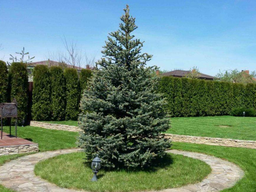 как красиво посадить елки фото без меня, конечно