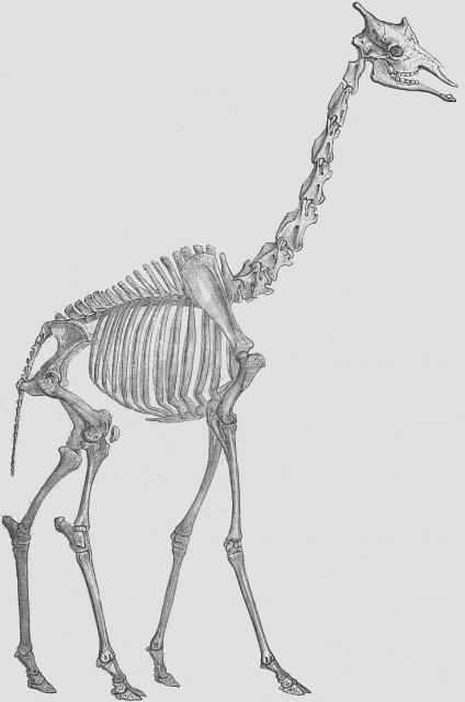 Vintage drawing of a giraffe skeleton  | random shit in 2019