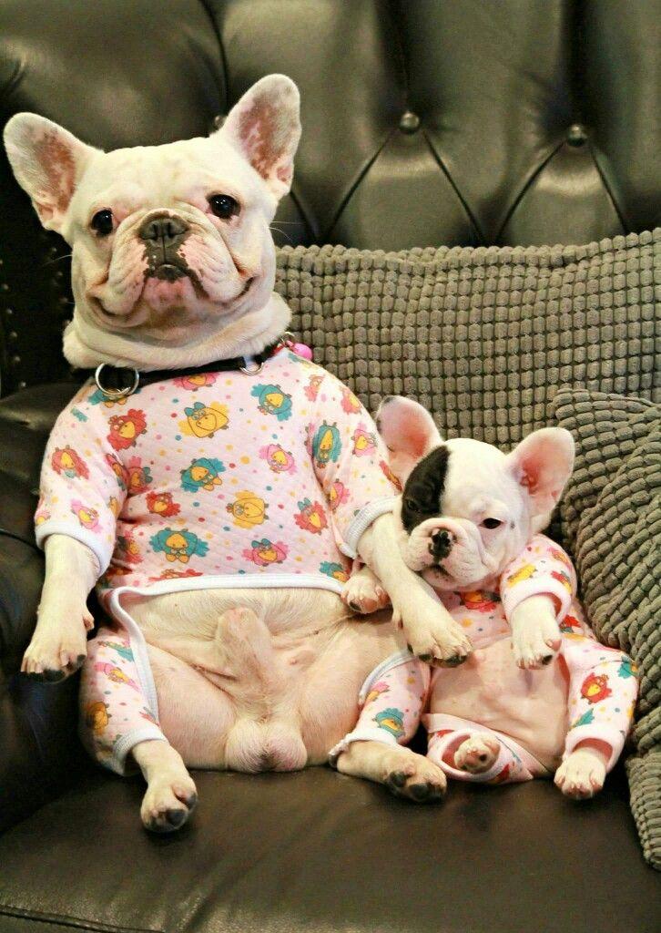 French Bulldog Playful And Smart Cute Animals Bulldog French Bulldog Puppies
