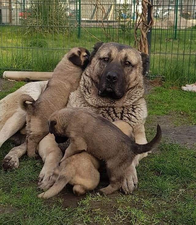 442 Beğenme, 2 Yorum - Instagram'da Sivas Kangal Köpeği ...