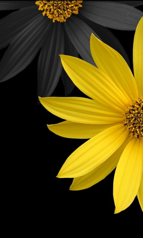 Yellow And Black Flowers Windows Phone 7 480x800 Hd Wallpapers 07