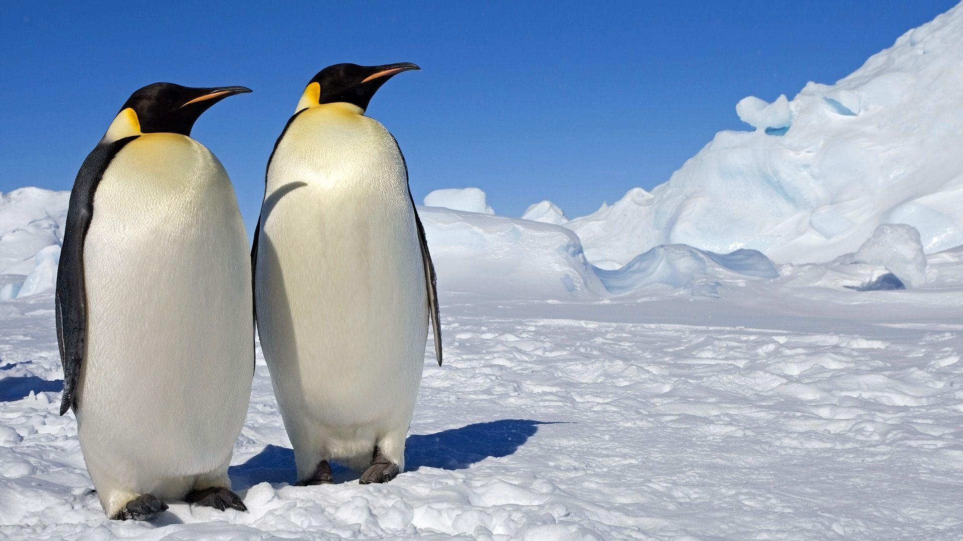 Baby emperor penguin stays with its parents at the polar house of - Images About Iphone Wallpaper Penguin On Pinterest Iphone 1200 797 Baby Penguin Wallpapers 58 Wallpapers Adorable Wallpapers Wallpapers Pinterest