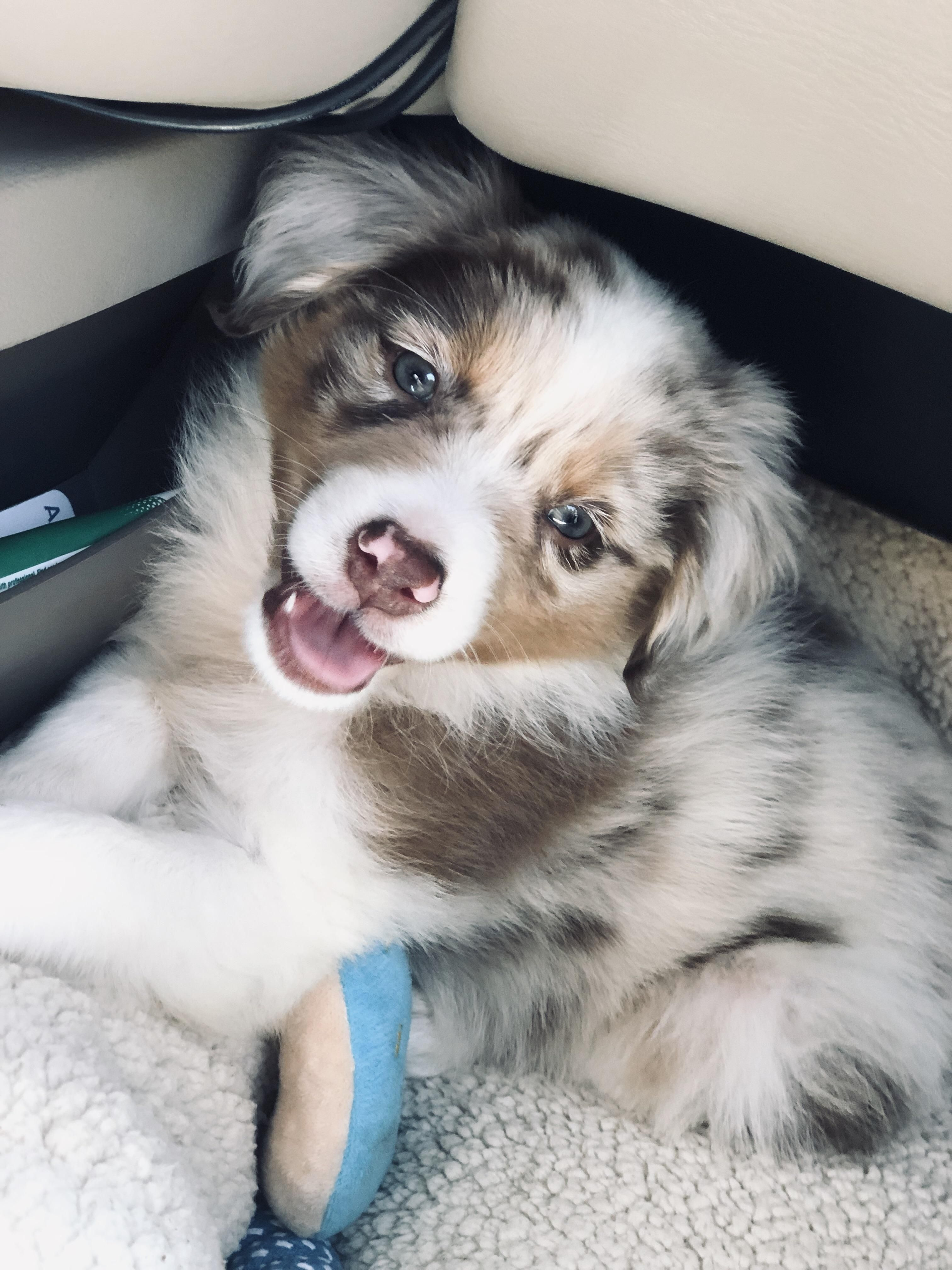 Australian Shepherd Mix Breeds Are Incredible Dogs Which
