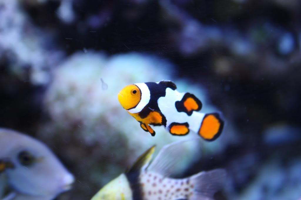 Ora Grade A Picasso Clownfish Clown Fish Fish Cool Fish Tanks