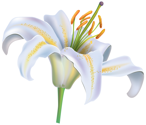 White Lily Flower PNG Clipart Image Lily flower, White