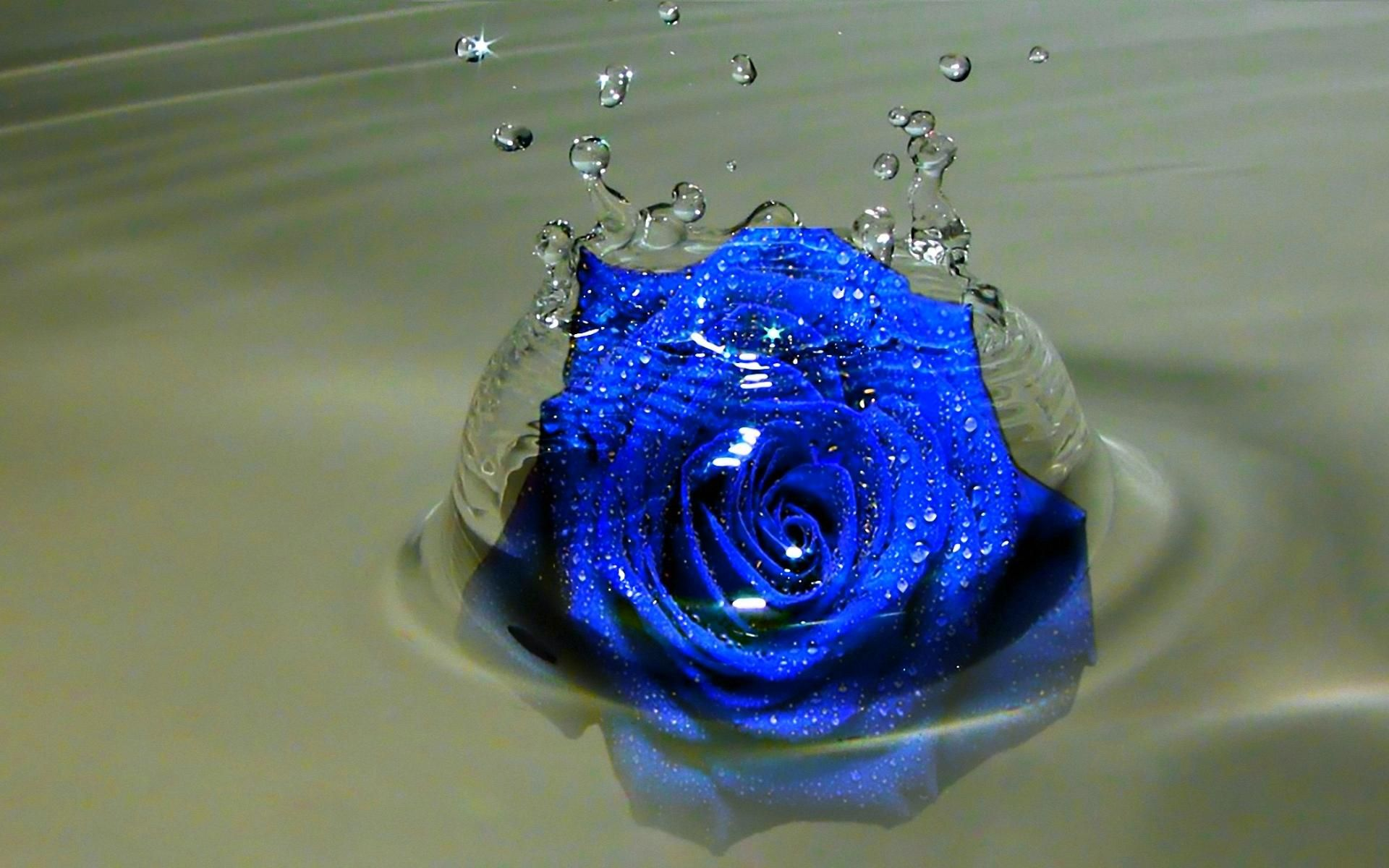 Check The Best Collection Of Blue Rose Wallpaper Hd For Desktop Laptop Tablet And Mobile Device You Blue Roses Wallpaper Beautiful Red Roses Rose Wallpaper