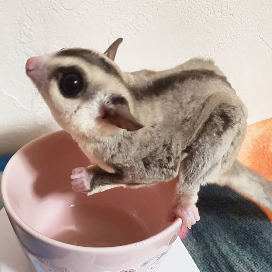 Yumic On Instagram メイライキイリイ体重測定 メイちゃん87g ライくん 90g キイくん 57g リイちゃん52g キイリイは順調に成長中 今度ちゃんと健康診断連れていこ フクロモモンガ フクロモモンガのいる生活 In 2020 Sugar Glider Animals Hamster