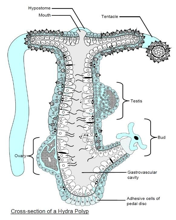 Pin By Rhonda Sillesky On Hydra Hydra Natural History Diagram