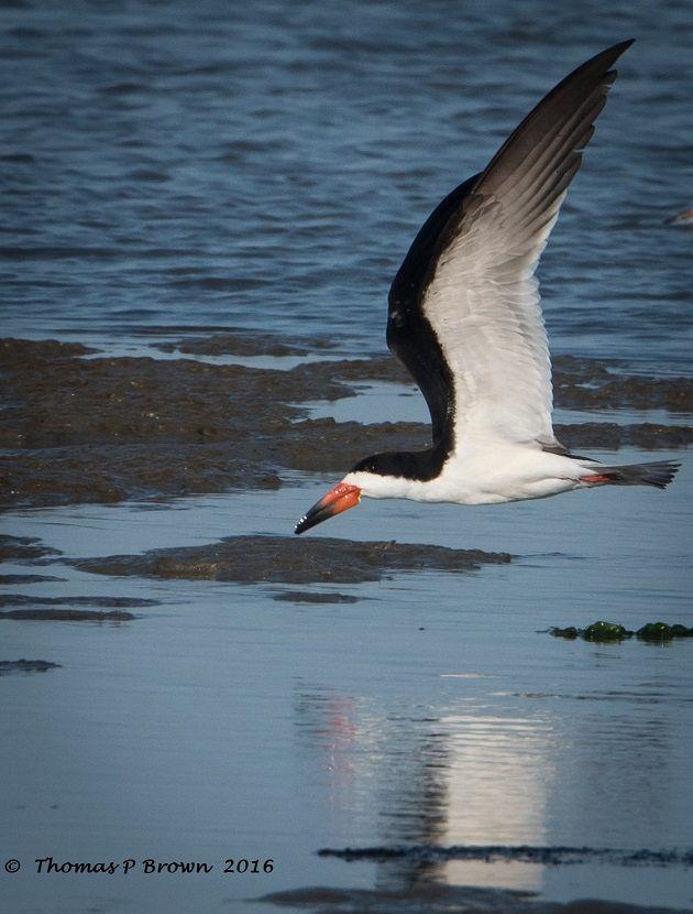 Black Skimmer-Long Beach, Mississippi, United States   birds