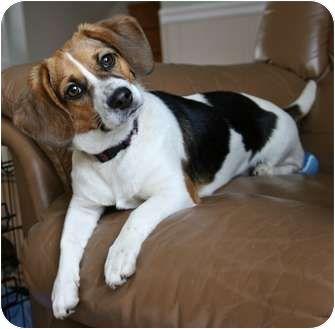 D 108 Beaglier Beagle Cavalier King Charles Spaniel King