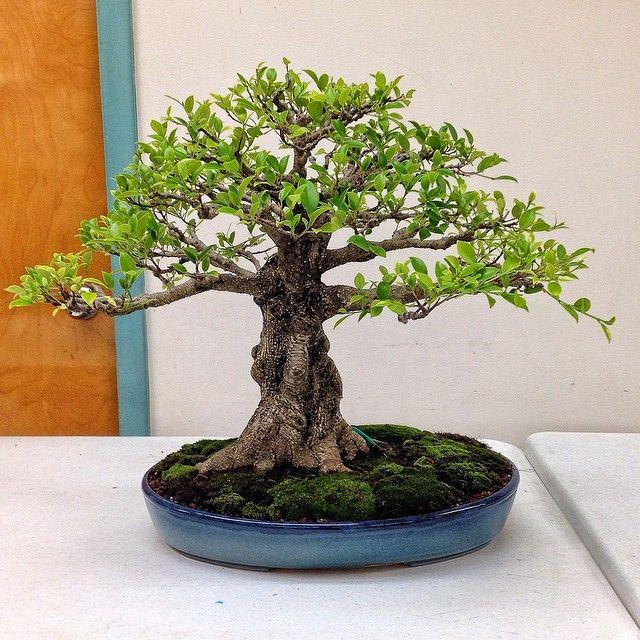 Ficus Microcarpa Tiger Bark By Bobby Block Bonsai Ficus Bonsai Tree Ficus Microcarpa
