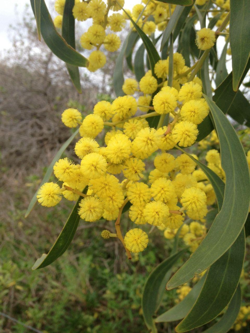 Golden Wattle Flower meanings