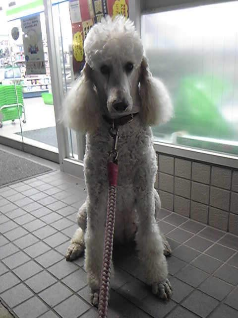 Standard Poodle Ai Poodle I Love Dogs White Puppies