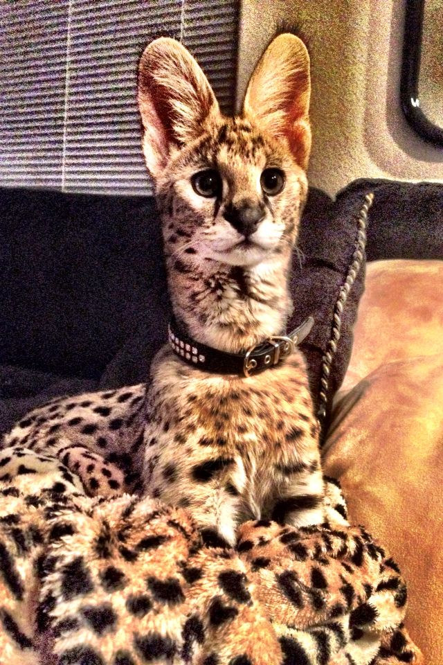 6 month old Serval Rare cats, Cats and kittens, Animals